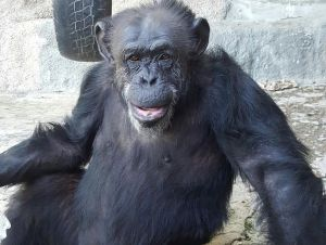 Trasladan-chimpance-Cecilia-santuario-Brasil_1014210648_125906658_626x472