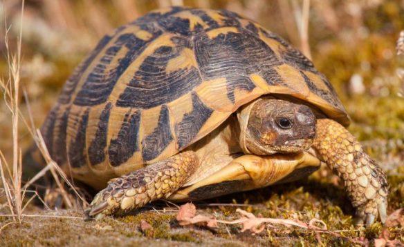 habitat-al-aire-libre-tortuga-mediterranea