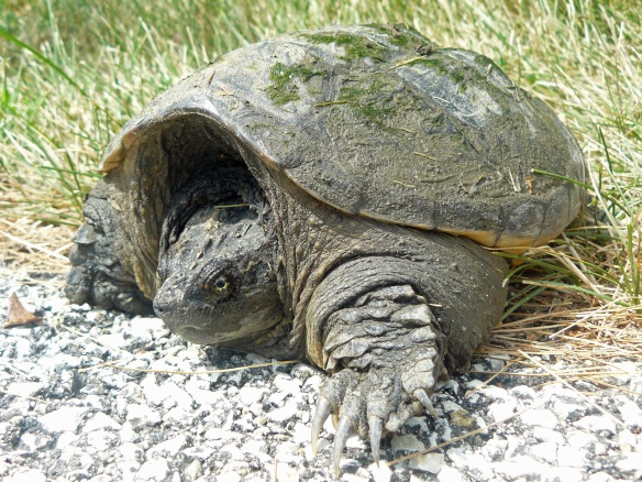 One_mean_Turtle_-_Snapping_Turtle,_Chelydra_serpentina_-_Flickr_-_GregTheBusker
