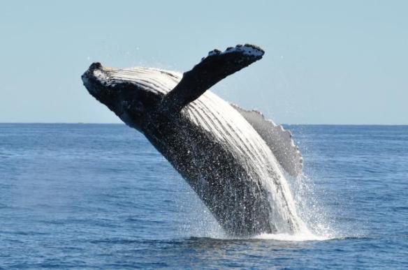 Balena i bussejador