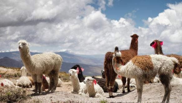 La llana.animal.anticossos covid-19