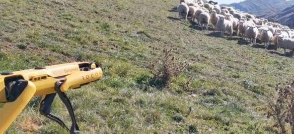 robot cuida ovejas