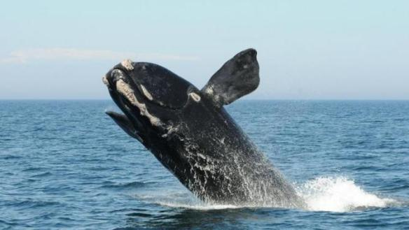 balena extinció