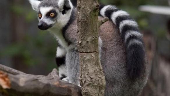 lemur 1